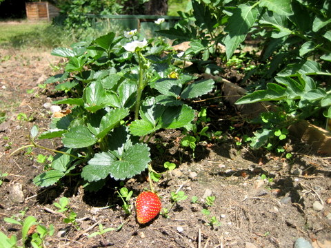 square foot gardening strawberries