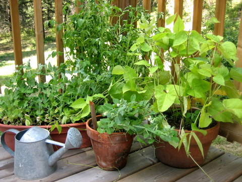 grow strawberries in strawberry pots