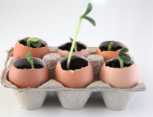 Make eggshell seedling pots to sprout your garden for less