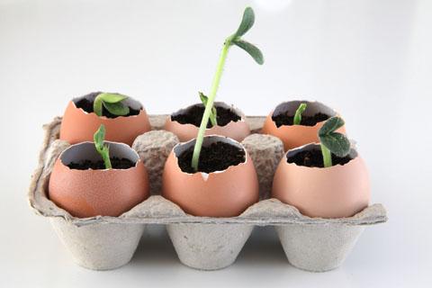 eggshell seedling