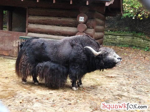Backtrack on this yak -- he's already been shaved.